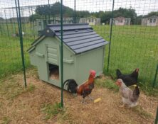 Chickens – Various