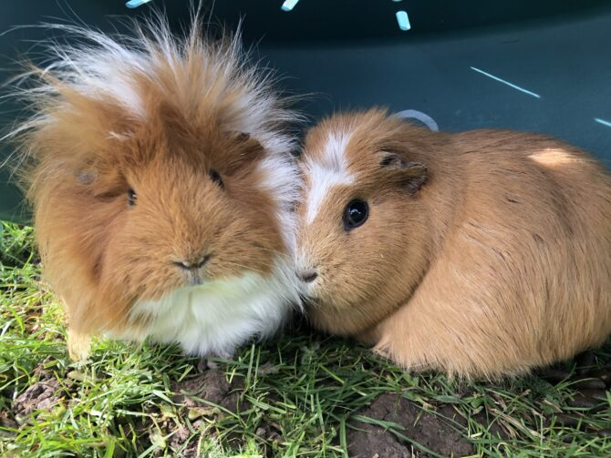 Olive & Pumpkin – 4 years – Females (RESERVED)