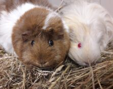 Pebbles and Sandy – 2yrs – Female